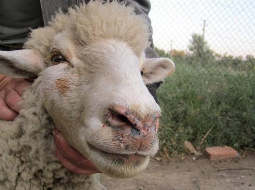 Симптомы, лечение и профилактика эстроза у овец