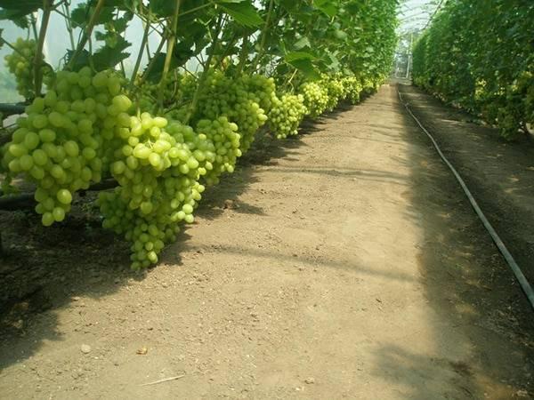 Как вырастить виноград в теплице?