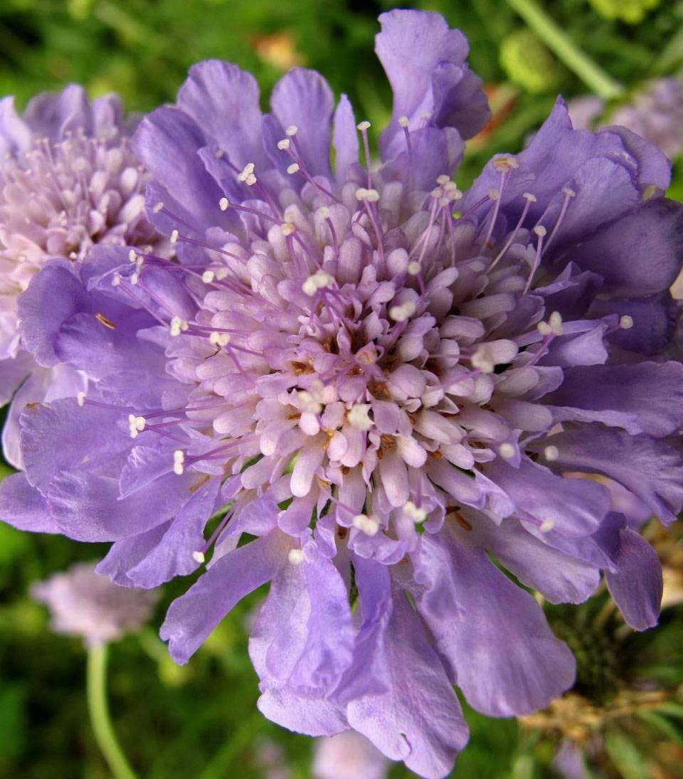 Цветок «скабиоза»: фото, выращивание из семян, посадка и уход