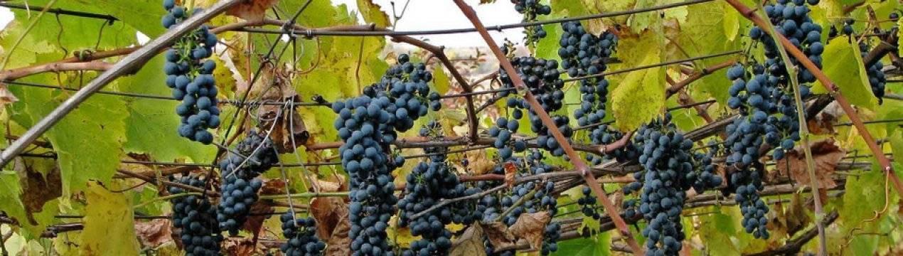 Как защитить виноград от болезней и вредителей: руководство по весенним обработкам
