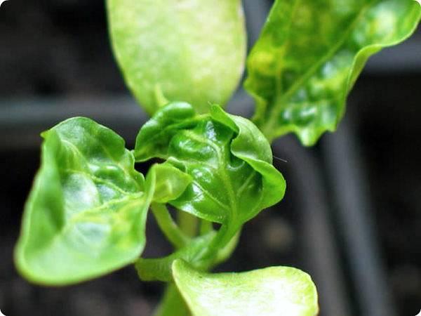 Почему у рассады перца скручиваются листья
