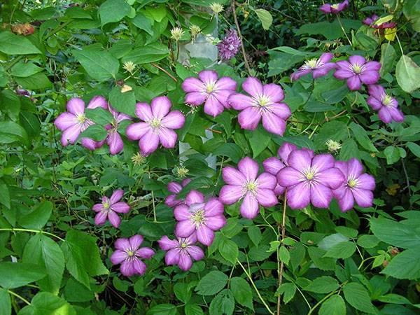 Клематис виль де лион: самый красивый и популярный цветок