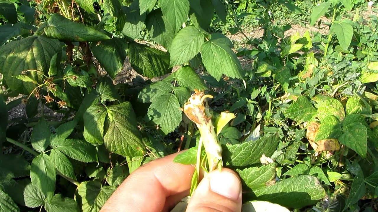 Чем обработать огурцы от тли во время плодоношения?