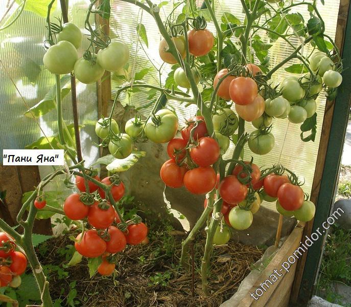 Томат таня: характеристика и описание сорта, урожайность с фото