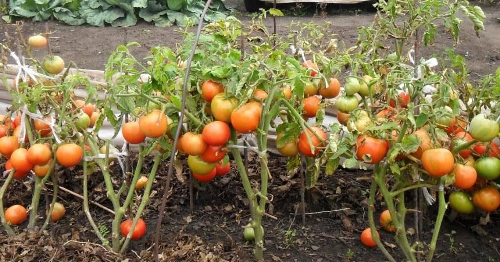 Плохо растет рассада помидор