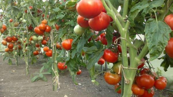 Сорт томата «мазарини»: описание, характеристика, посев на рассаду, подкормка, урожайность, фото, видео и самые распространенные болезни томатов