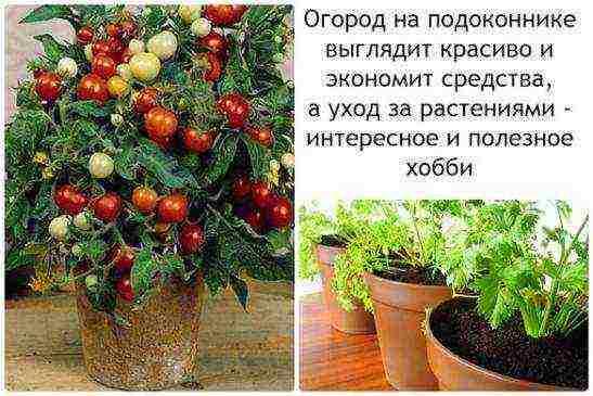 Как выращивать петрушку дома на подоконнике?