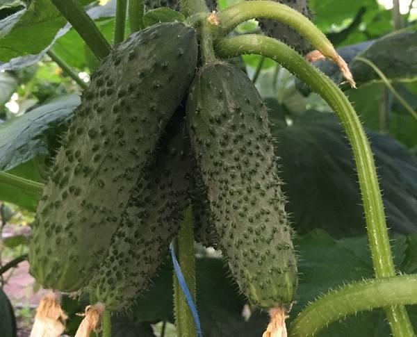Описание сорта огурца Каролина f1, его характеристика и урожайность