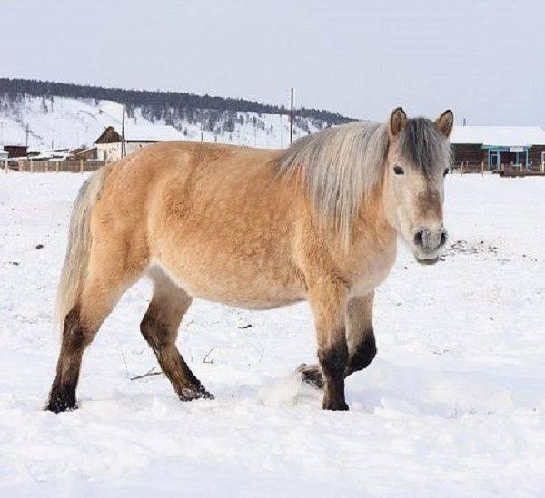 Характеристика породы лошадей советский тяжеловоз и правила содержания