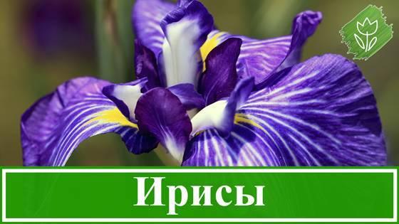 Секреты выращивания сибирских ирисов