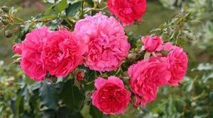 Плетистая роза «розариум ютерсен» – яркий акцент в ландшафтном дизайне