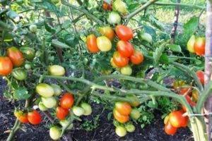 Редкий, экзотический сорт — томат темная галактика: подробное описание