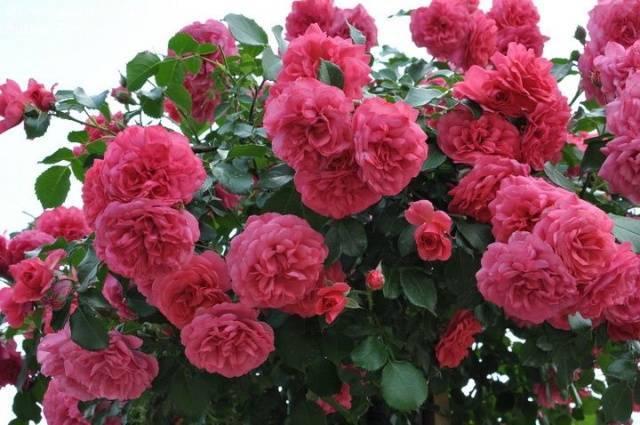 Описание сорта розы розариум ютерсен и правила ухода