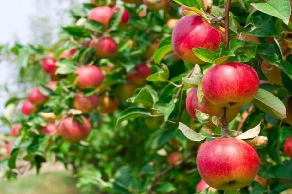 Описание и характеристики яблони сорта флорина, правила посадки и ухода