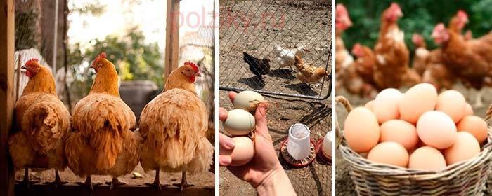 От чего зависит яйценоскость у кур и как ее повысить в домашних условиях