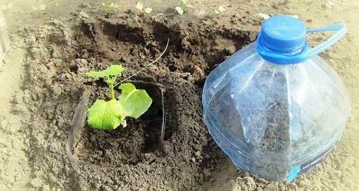Правила посадки огурцов в бутылках