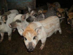 Сколько можно держать свиней? оптимальный возраст убоя
