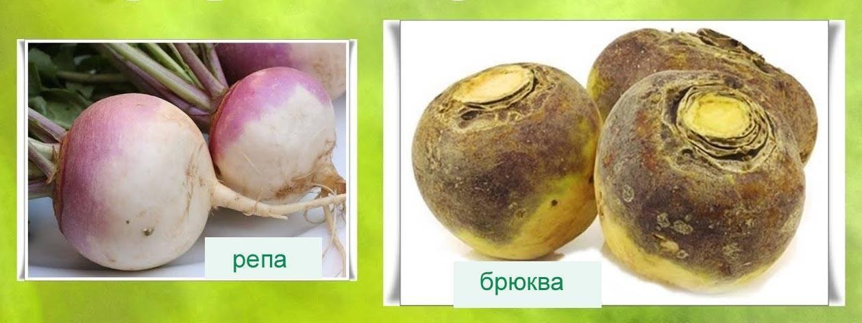 Описание сортов брюквы Красносельская, Куузику и других, лучшие виды для Сибири