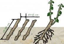 Способы размножения ремонтантной малины
