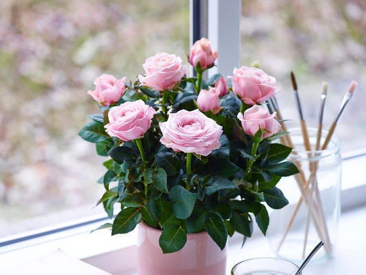 Комнатная роза: уход в домашних условиях