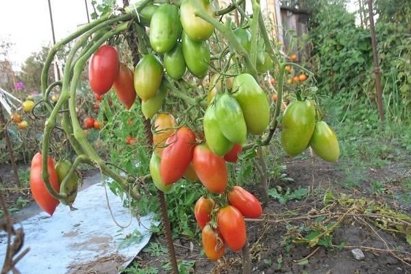 Описание сорта томата Северная красавица, его выращивание и уход