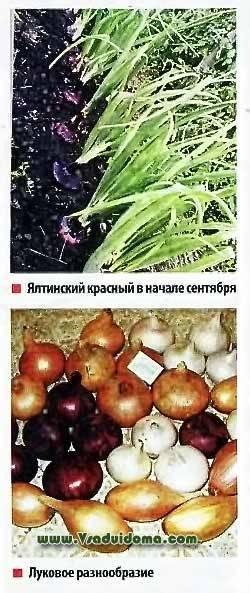 Ялтинский лук — сладкий лук тавров: лучшие места выращивания, лучшие сроки покупки, пищевая ценность, как хранить. первый фестиваль в запрудном (над трассой ялта — алушта)