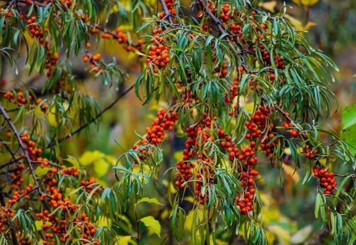 Как посадить и вырастить облепиху: пошаговые рекомендации
