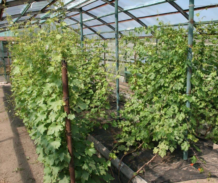 Теплица для винограда своими руками: как сделать из поликарбоната