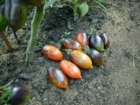 Томат бой бой (boy boy tm): характеристика и описание сорта разновидности гном, фото помидоров и