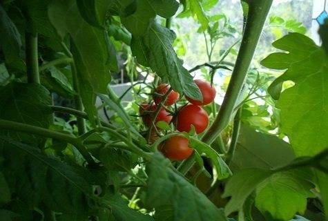 Легко и просто выращиваем томат «дюймовочка» на подоконнике или дачном участке по инструкции от опытных фермеров