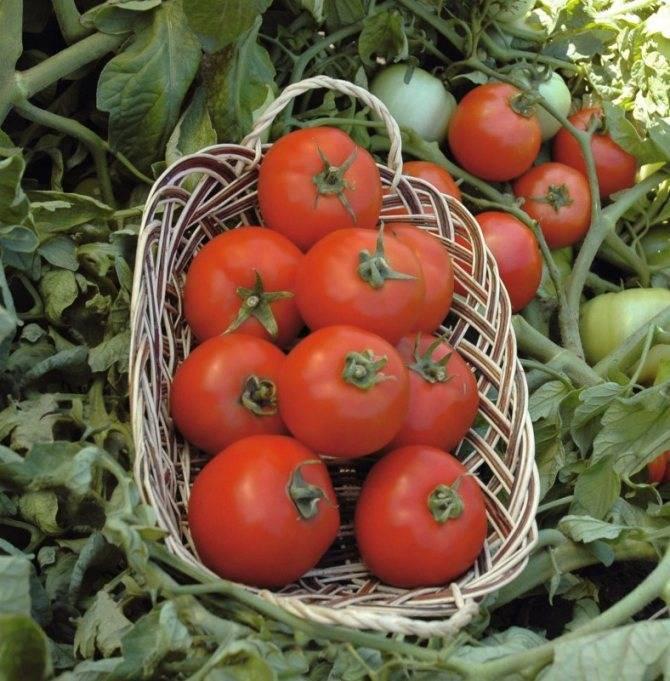 Отличный гибридный сорт помидор «полбиг» порадует и садоводов и фермеров