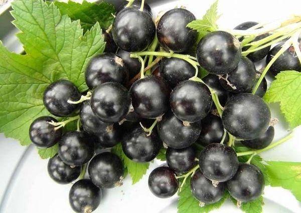 Сорта чёрной смородины