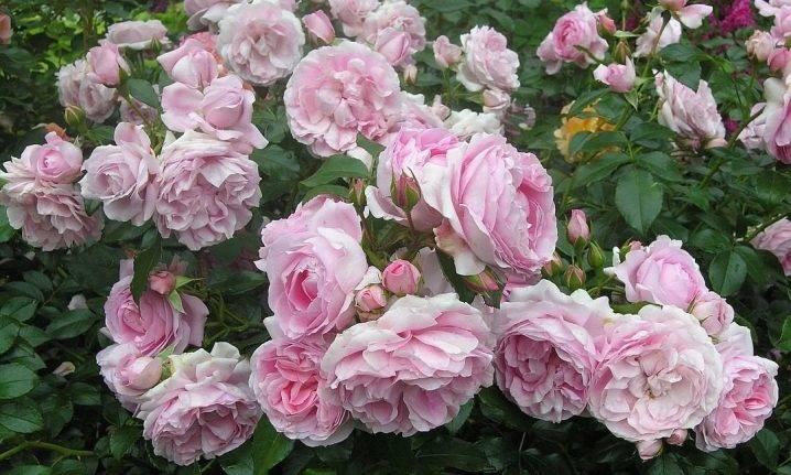 Роза луис одьер (louise odier) — что это за сортовая культура