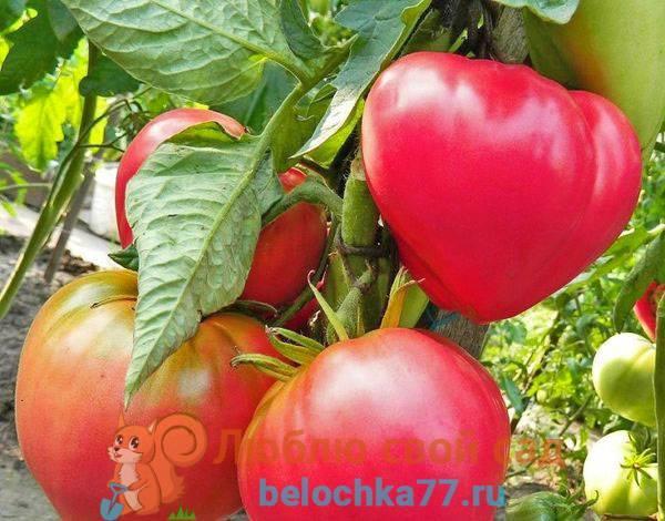 Характеристика и описание сорта томатов бийская роза и бийский розан
