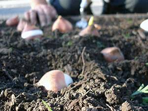 Без спешки и ошибок: когда и как сажать тюльпаны осенью