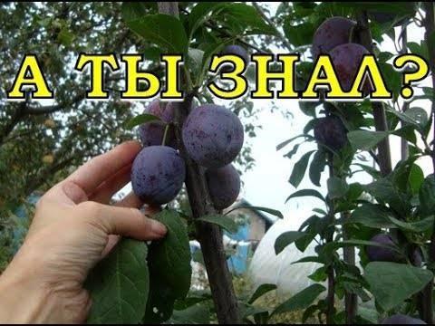 Опадают плоды сливы — что делать?