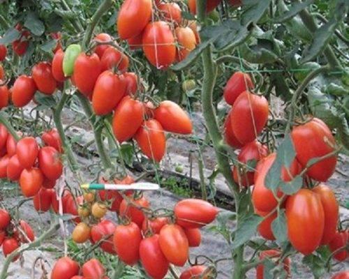 Сорта томата черри «вишня желтая» и «вишня белая»: фото, видео, отзывы, описание, характеристика, урожайность
