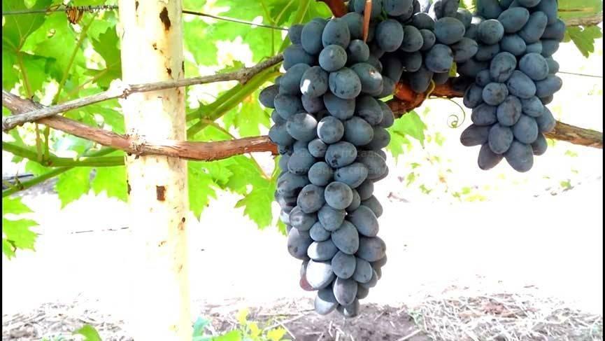 Сорт винограда «чарли» и его описание