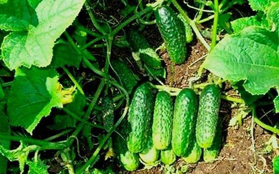 Описание огурцов сорта Луховицкие, характеристика и выращивание