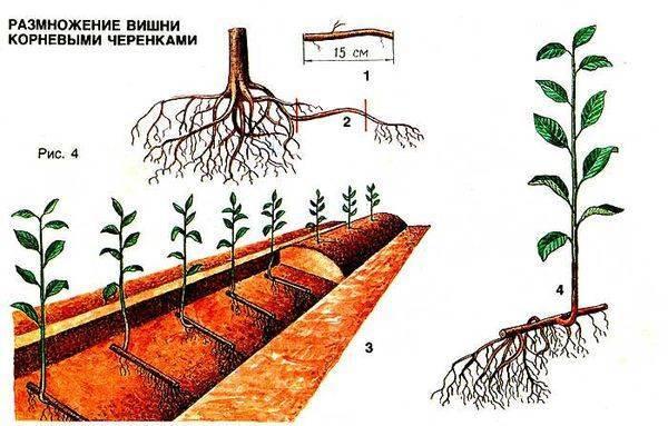 Можно ли вырастить алычу из косточки в домашних условиях и как это сделать