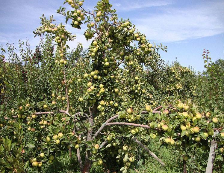 Карликовая яблоня для сибири и урала сорта чудное, как ее посадить