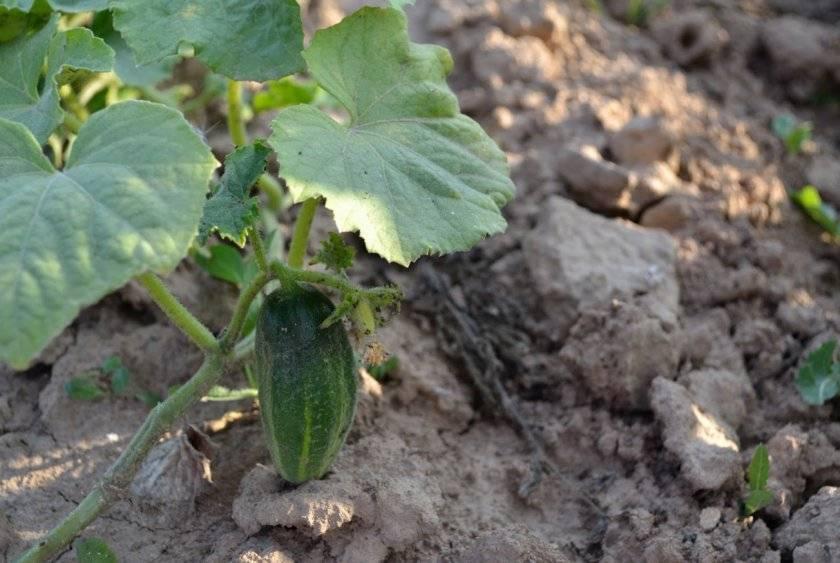 Что делать, если огурцы растут кривыми (крючком) в теплице и открытом грунте