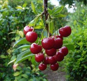 Вишня «норд стар»: особенность выращивания и уход
