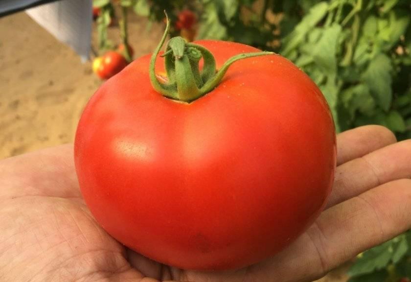 Сорта помидор устойчивых к кладоспориозу