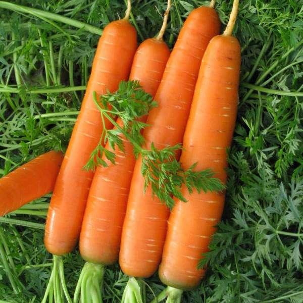 Описание и характеристика моркови канада – высокоурожайного и неприхотливого в выращивании сорта