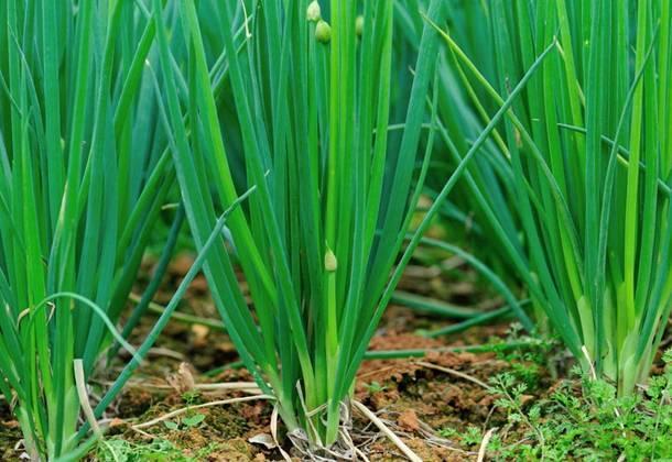 Лук «батун»: описание, посадка, выращивание и уход + фото
