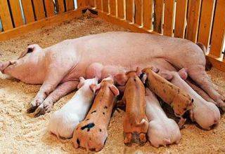 Сколько весят самые большие свиньи в мире, представители книги рекордов гиннеса