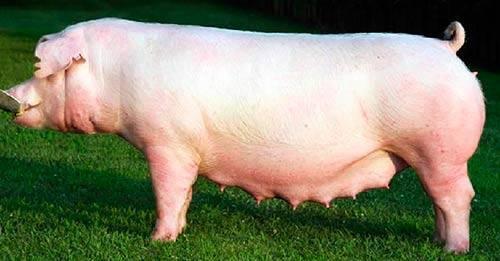 Описание и фото йоркширской породы свиней