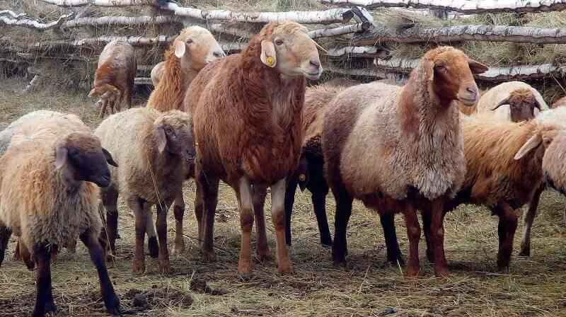 Овцы породы дорсет