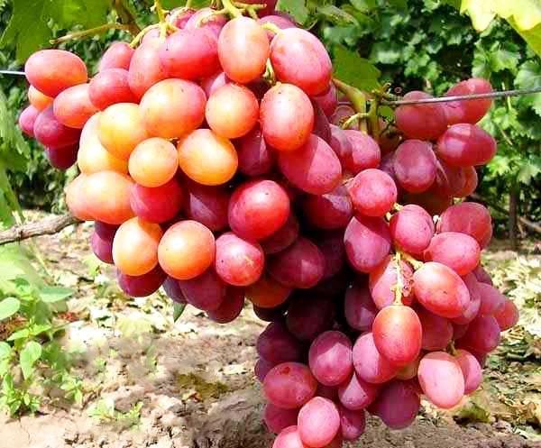 Сорт для начинающих с высокой урожайностью — виноград «анюта»
